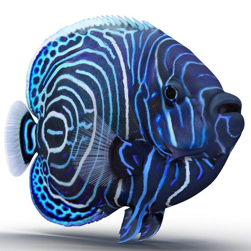 juvenile emperor angelfish 3d model
