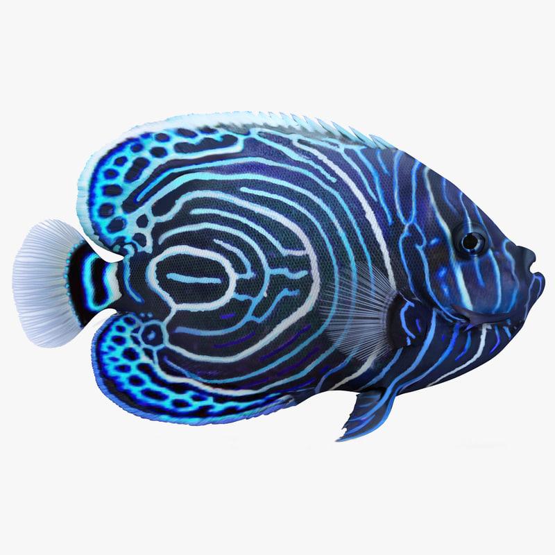 juvenile emperor angelfish rigged 3d model