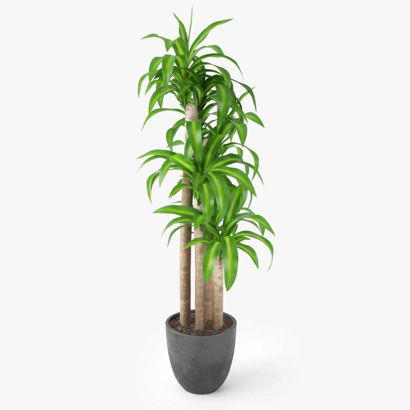 dracaena massangeana potted plant max