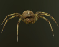 orb-weaver spider 3d model