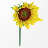 3d sunflower flower model