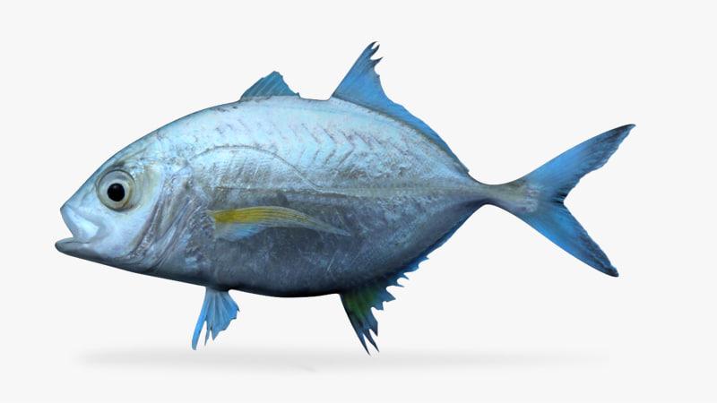 3d bluefin trevally