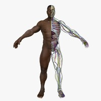 3d male body anatomy circulatory model