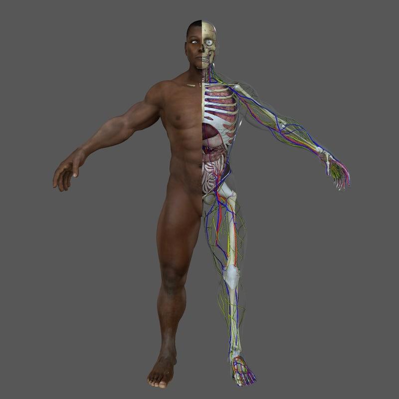 3d male body anatomy circulatory model