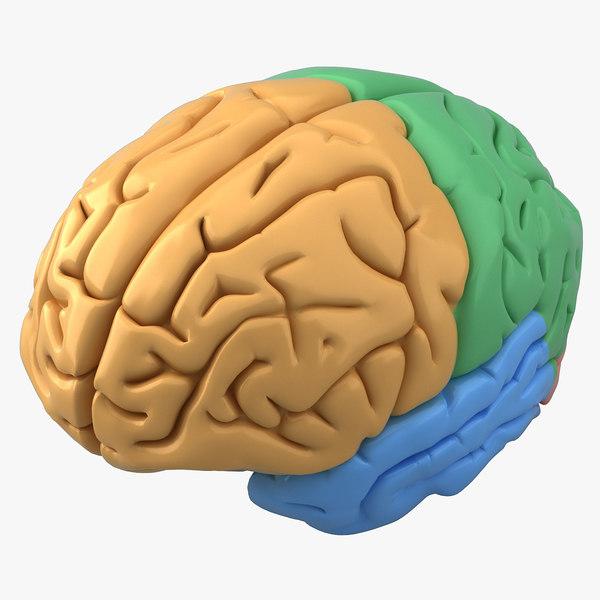 human brain 3ds