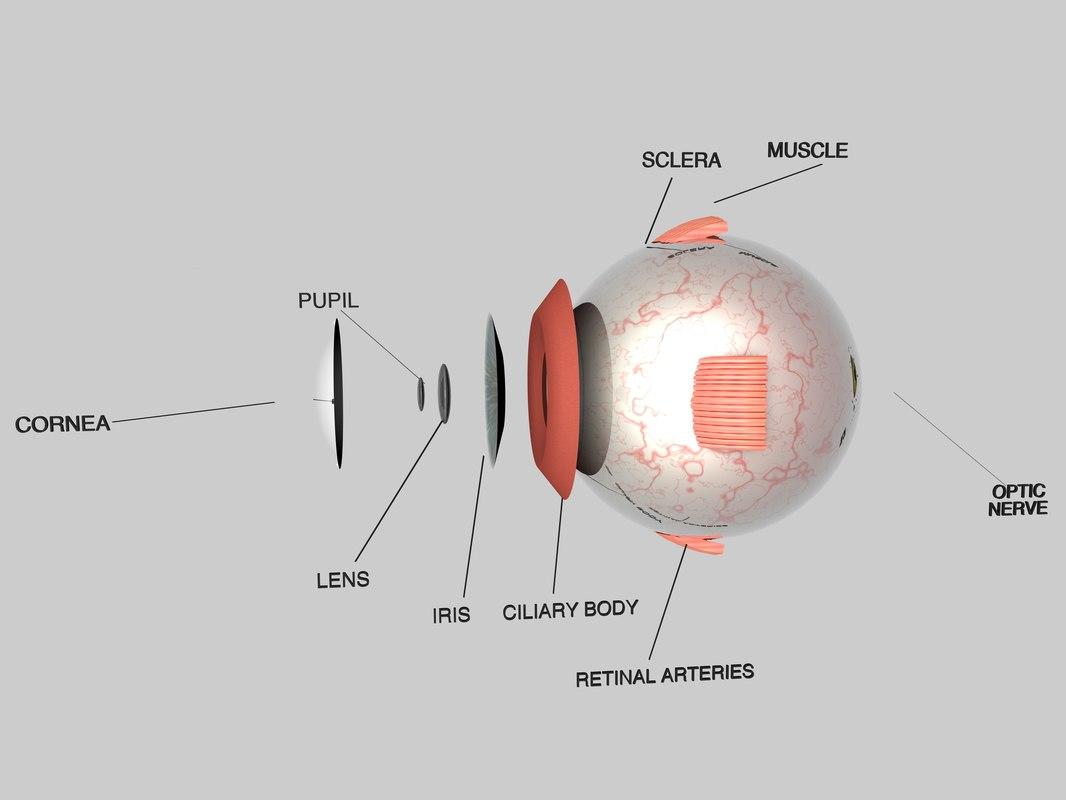 Human Eye Cross Section 3d Model Diagram