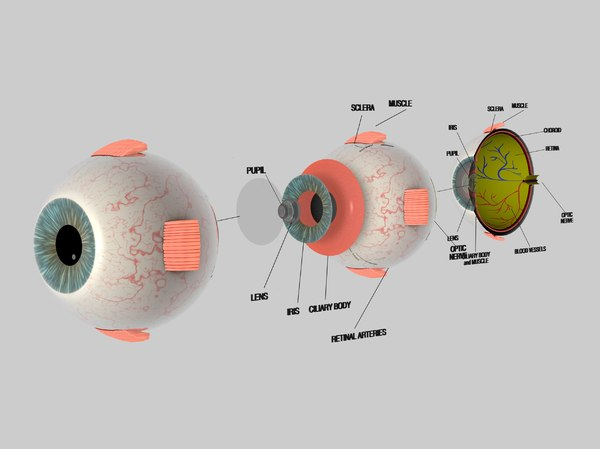 human eye cross section 3d model
