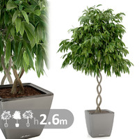Ficus plant helix