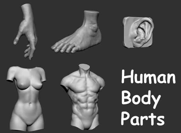 3d human body parts female torso