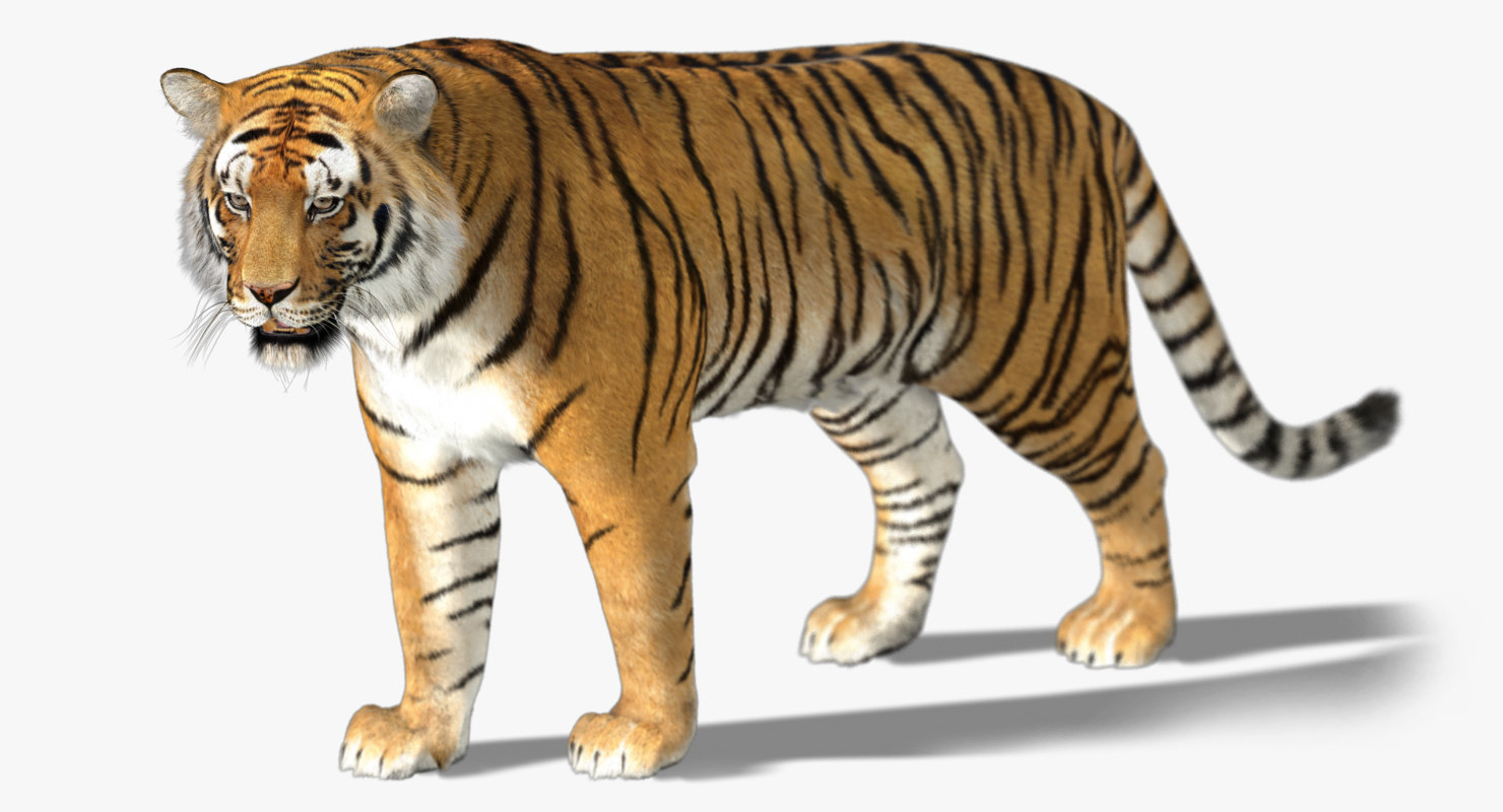 tiger rigged fur 3d ma