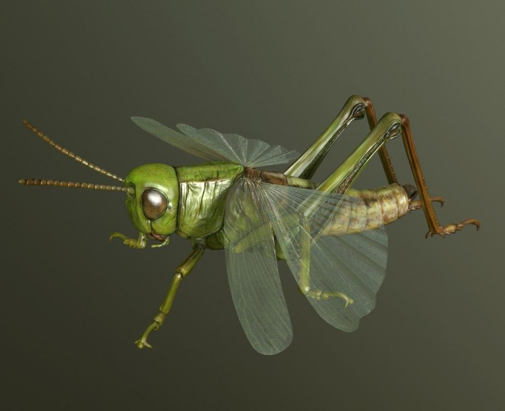 3d grasshopper chorthippus parallelus