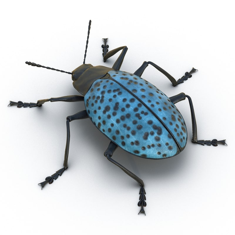 gibbifer californicus beetle 2 x