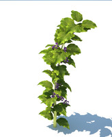 3d raspberry plants model
