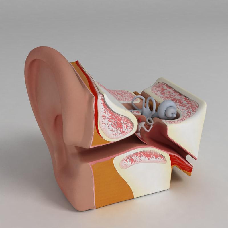 ear anatomy 3d max