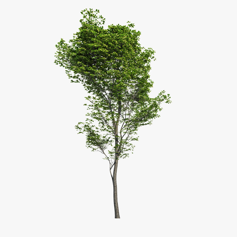 hornbeam tree 3d max. Black Bedroom Furniture Sets. Home Design Ideas