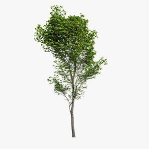 hornbeam tree - 3d max