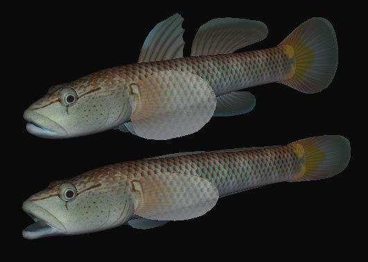 3ds max rhinogobius kurodai swimming