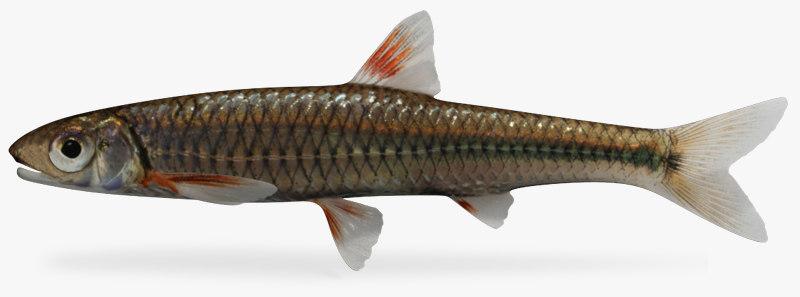 3d model notropis spectrunculus sawfin shiner