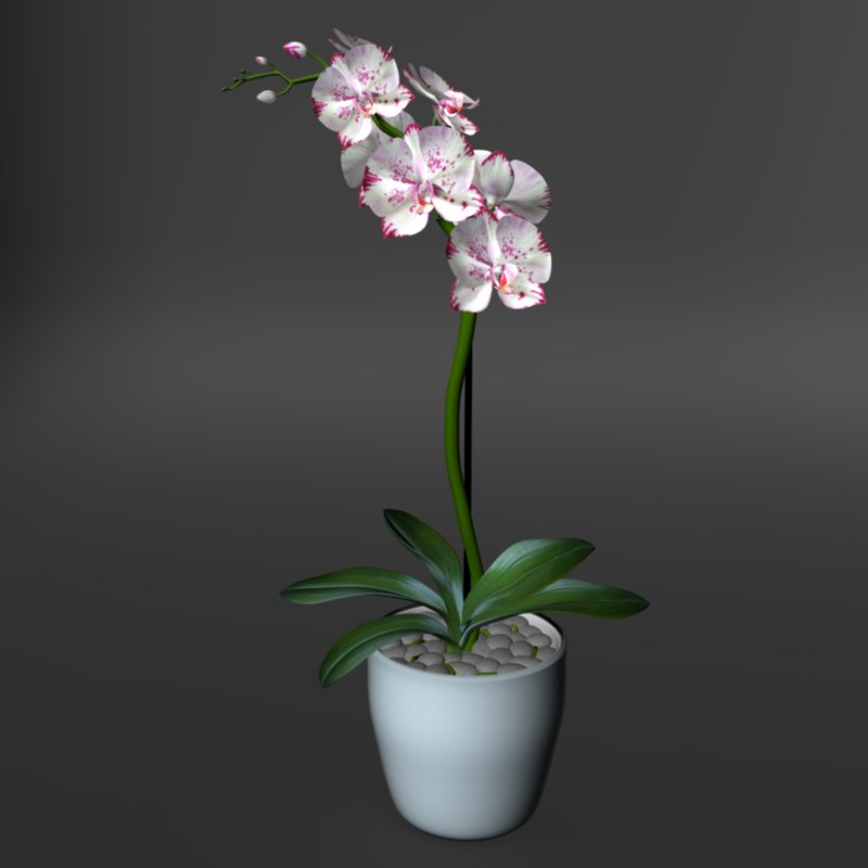3d model realistic orchid flower