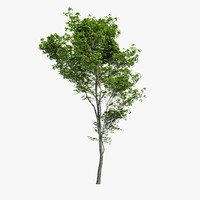 3d hornbeam tree model