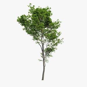 3d hornbeam tree model