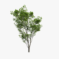 Harnbeam Tree (Carpinus Betulus) Model C