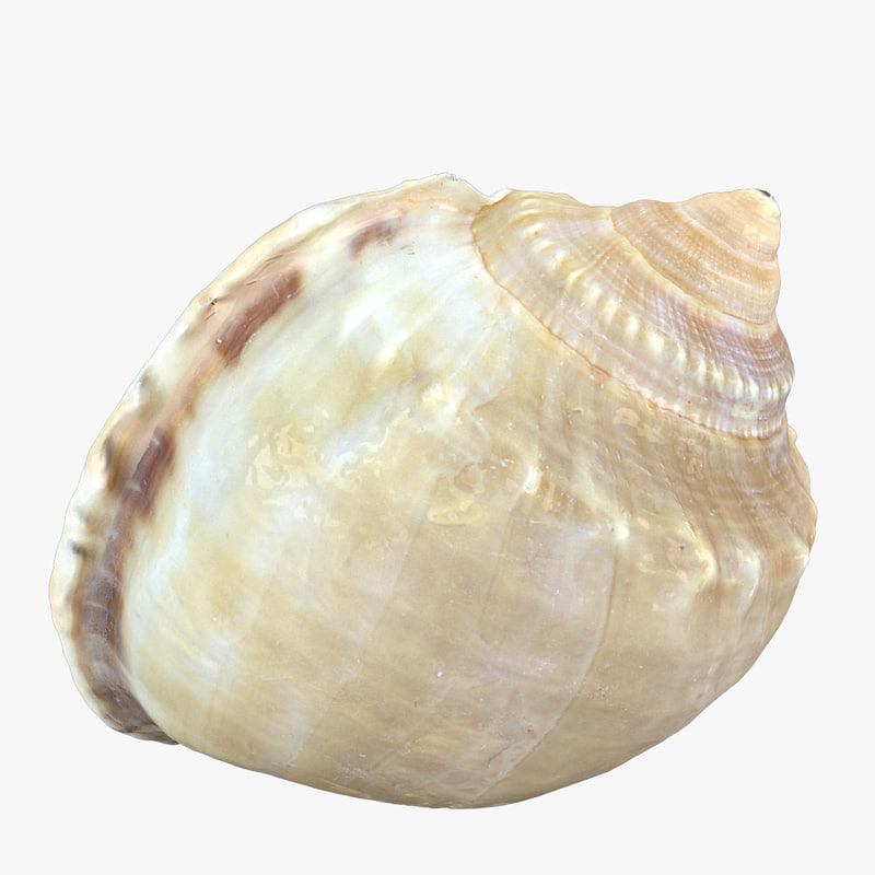 3d model seashell sea shell