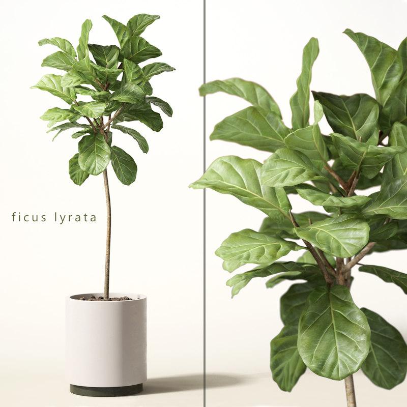 3d model of ficus lyrata. Black Bedroom Furniture Sets. Home Design Ideas