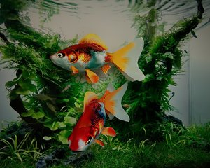 3d goldfish fish gold