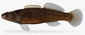 etheostoma flabellare fantail darter 3d model