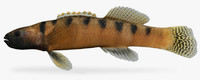 3d model etheostoma flabellare barred fantail