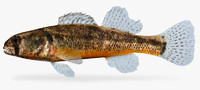 etheostoma cragini arkansas darter 3d model