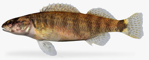 etheostoma tippecanoe darter female fbx