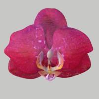 orchid flower obj