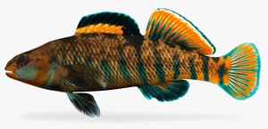 3d etheostoma caeruleum rainbow darter