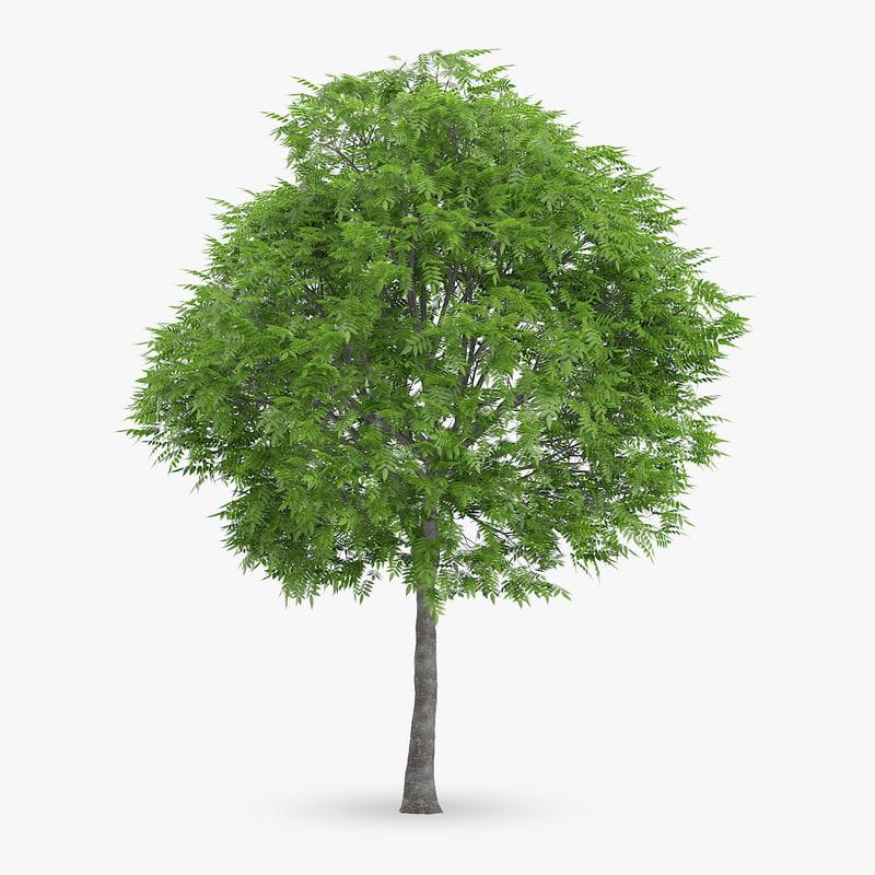 3d rowan tree 10m