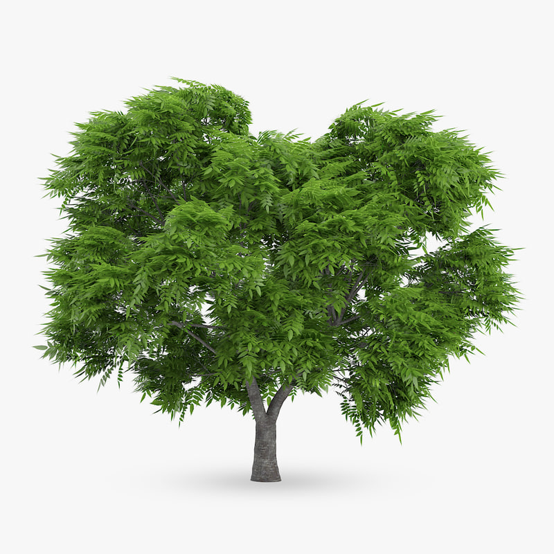 3d rowan tree 5 7m model