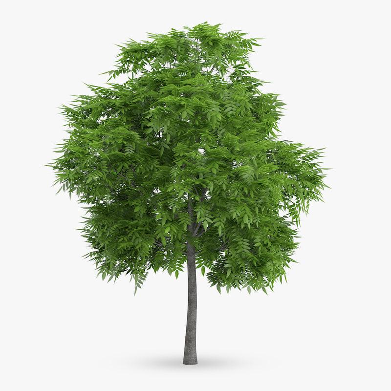 rowan tree 6m 3d model