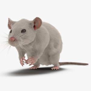 3d white rat pose 4 model
