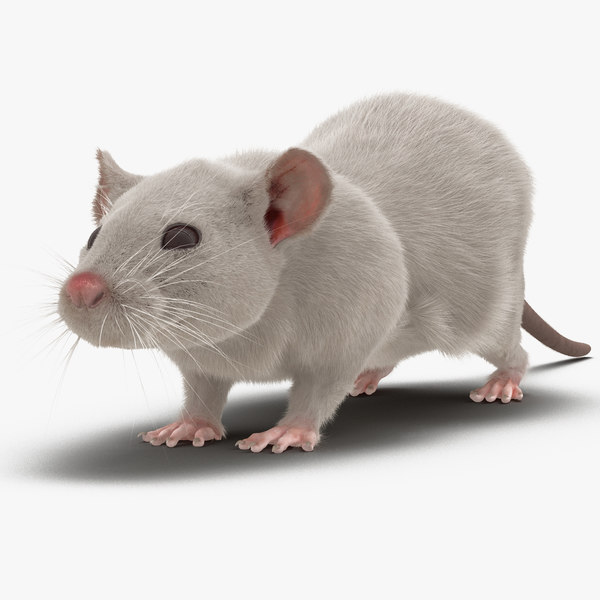 3d white rat rigged