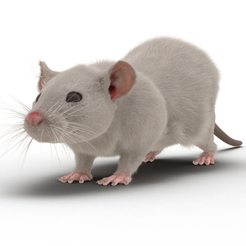 3d white rat rigged