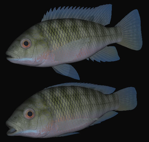 tilapia zillii swimming 3d model