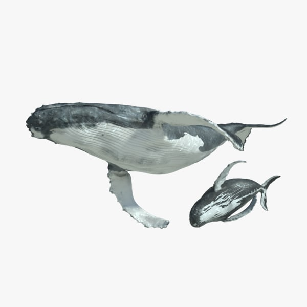 3d humpback whales rigged model