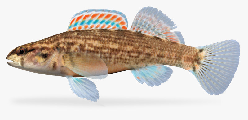 3d etheostoma swaini gulf darter model