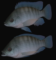 3d oreochromis niloticus swimming model