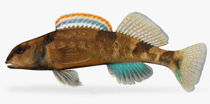 etheostoma euzonum arkansas saddled 3d fbx