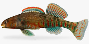 etheostoma kanawhae darter male ma