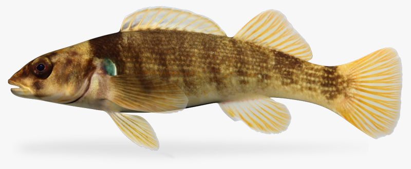 3d etheostoma juliae yoke darter model