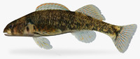 3d model etheostoma kanawhae darter