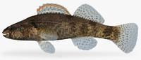 3d model etheostoma punctulatum stippled darter